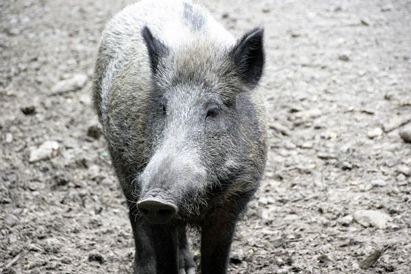 Wildschwein - fränkischer Wildschweinbraten