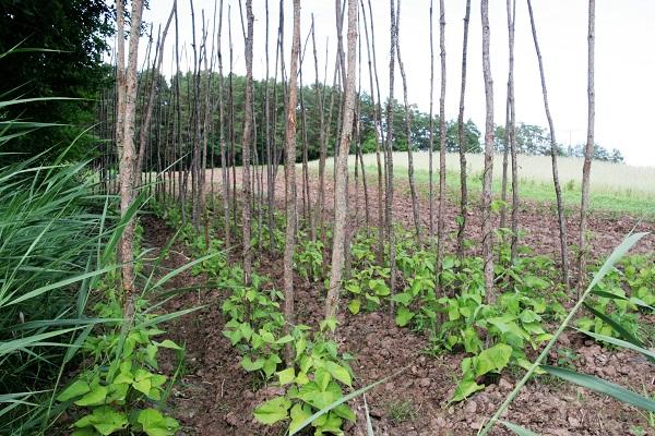 Foto Feld mit Bohnenstange und daran rankenden Bohnenstängel