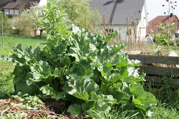 Rabarber im Garten