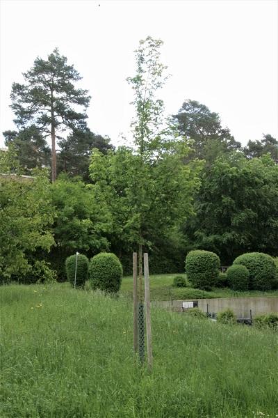 Ahornbaum für Nikolai